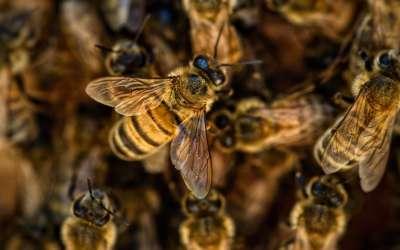 Пчелы-чистильщики отличились крепким иммунитетом