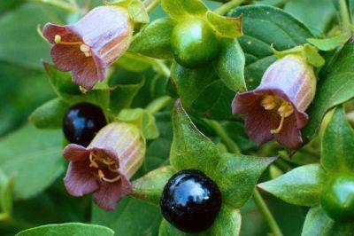 Можно ли умереть от «волчьей ягоды»? Топ-5 ядовитых ягод России