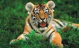 В центральной Индии осталось не более 500 тигров