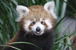 детеныш красных панд