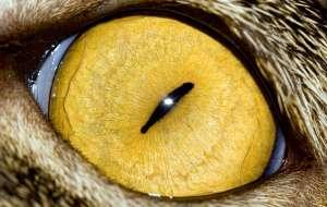 Кошачий глаз при увеличении фото priroda