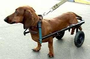 Московский инженер изобрел инвалидные коляски для собак. Фото: РИА Новости