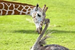 Жираф влюбился в страусиху. Фото: http://bigpicture.ru/