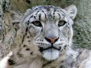 снежный барс, фото: http://ecoportal.su/news.php?id=48178