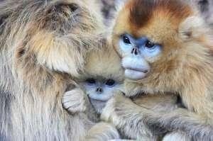 Китайская курносая снежная обезьяна. Фото: http://animalpicture.ru