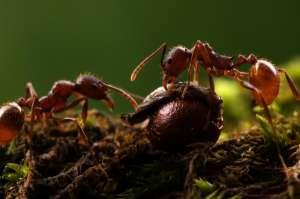 Муравьи тащат семя в муравейник. (Фото Alex Wild.)