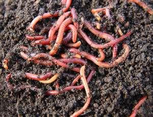 Дождевые черви могут помочь в восстановлении загрязнённой тяжёлыми металлами почвы. Фото: http://sciencedaily.com