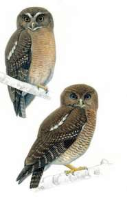 На Филиппинах открыли два новых вида сов. Фото: http://sciencedaily.com