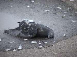 Причиной массовой гибели голубей в Костроме стал крысиный яд. Фото: Вести.Ru