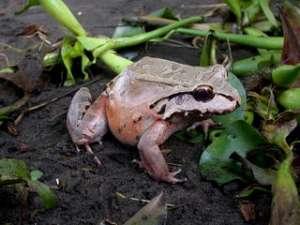 Leptodactylus pentadactylus. Фото: http://www.discoverlife.org