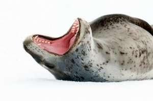 Самка морского леопарда показывает зубы. (Фото Wayne Lynch / Corbis).