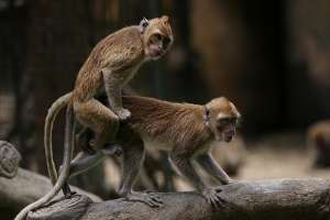 Секс обезьяны