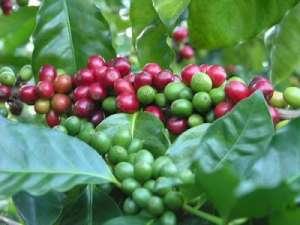 Аравийское кофейное дерево. Фото: http://chocomocco.ru