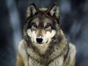 Волк. Фото: http://www.blackraven.ru