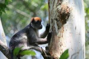 Красный толстотел любит кору эвкалипта, богатую экстрогенами. Фото: sciencedaily.com