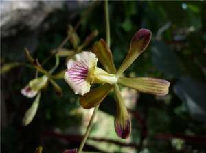 Encyclia navarroi. Фото: http://sciencedaily.com