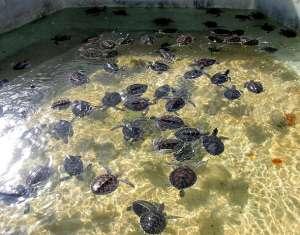 Зоозащитники требуют закрыть на Кайманах ферму по разведению черепах. Фото: http://islandview.ru