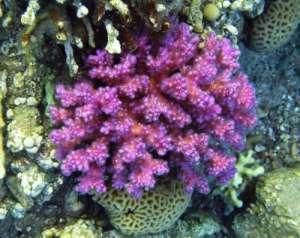 Коралл Цветная капуста Красного моря имеет розовые фотозащитные пигменты. (Фото: Университет Саутгемптона)