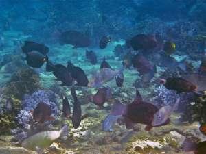Крупным планом изображение показывает различные группы рыб-попугаев, нарвалов и хирурговых рыб, обитающих на мелких рифах внутри морского заповедника на Фиджи. Рыба (Orangespine unicornfish) с ярко-оранжевым пятном на хвосте - основной потребитель больших бурых водорослей. (Фото: Коди Клементс)