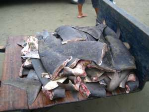 Любовь к деликатесам может привести к необратимым экологическим последствиям. Фото: sciencedaily.com