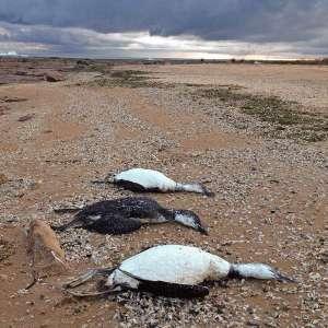Мертвые птицы на побережье Англии. Архив. Фото: http://www.novostimira.com.ua