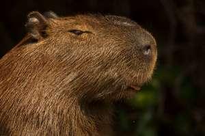 Капибар, как и всех остальных грызунов, никогда не тошнит. (Фото Mary Ann McDonald.)