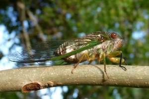 Крупнейшее нашествие цикад угрожает Восточному побережью США. Фото: Вести.Ru