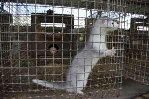 Норка на звероферме. Фото: http://www.copah.info