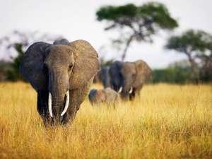 Слоны в Африке. Фото: http://animalspace.net