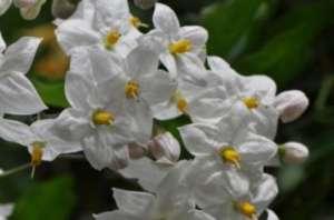 Соцветия одного из вида пасленовых. Фото предоставлено Сандрой Нэп
