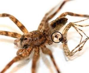 Вот такие они, эти D. tenebrosus: самка и самец с распухшей педипальпой. (Фото авторов работы.)