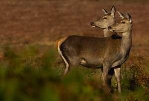 Самки благородного оленя первыми из зверей продемонстрировали зоологам свою способность влиять на пол потомства. (Фото Andrew Parkinson.)