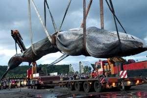 Картинки по запросу японский китобойный промысел
