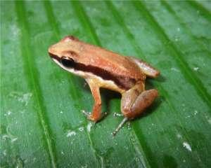 Новый вид Allobates amissibilis, фото предоставлено M. Hoelting, R. Ernst