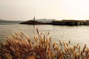 Дикая пшеница (фото Emrah Serdaroglu).
