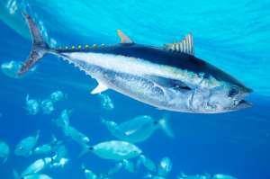 тунец голубой фото