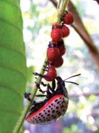 На фото показано, как личинки D. paykulli в Панаме переходят на новый лист, сопровождаемые своей матерью. (Фото: S. Van Bael; CC-BY 3.0)