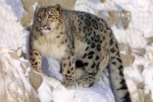 Снежный барс. Фото с сайта wikipedia.org