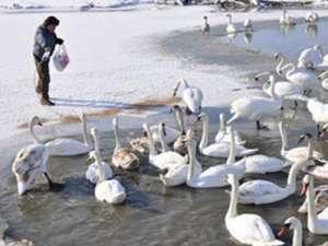 Лебеди. Фото: http://donbass.ua/