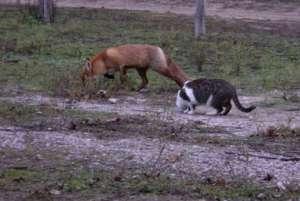 Бездомный кот усыновил лисенка. Фото: http://www.mignews.com