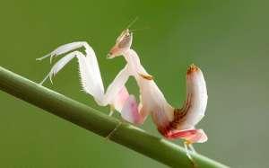 Орхидейный богомол (фото Marco Milanesi).