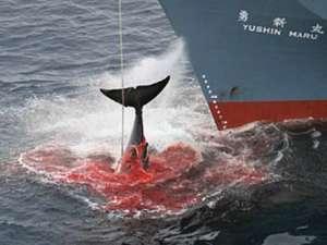 Японский китобойный промысел. Фото: http://www.talks.su/