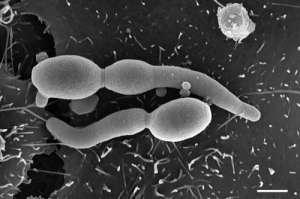 Хотя Candida albicans есть почти у всех взрослых, в ослабленном организме (зачастую уже серьёзно больном) она может стать настоящим бичом. И борьба с этим и другими грибками традиционными средствами бывает затяжной и не очень эффективной. (Фото Muhsin Özel, Gudrun Holland / RKI.)