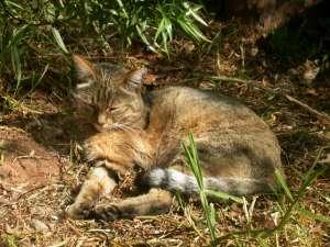 Степной кот, предок большинства домашних кошек(фото Andrew.Lorenzs/Wikimedia Commons).