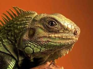 Игуана. Фото: http://www.ekzoland.com.ua/