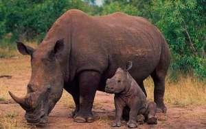 Носороги. Фото: http://givotnie.com/
