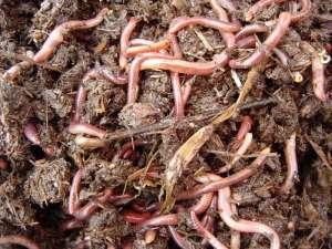 Дождевые черви. Фото: http://green-pik.ru/