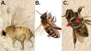 Мухи вида Apocephalus атакуют медоносных насекомых. Фото: http://bioscientias.blogspot.com