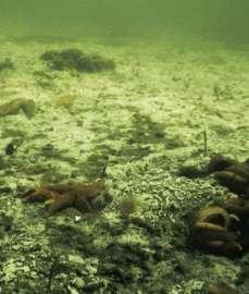Когда содержание кислорода в придонной воде достигает нижней точки, единственные оставшиеся в живых, в конечном счете, - это бактерии, которые живут на морском дне. Здесь лоскуты белых серных бактерий образуют саван. (Фото: Петр Бондо Кристенсен)