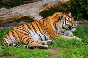 Амурский тигр. Фото: http://www.la-star.ru